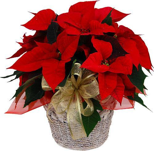 3626 - Red Poinsettia Plant